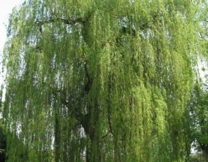 Salix sepulcralis 'Tristis' - treurwilg
