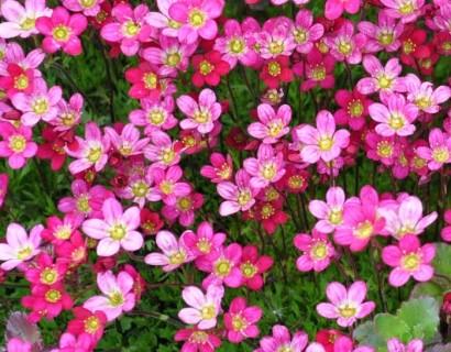 Saxifraga arendsii roze - steenbreek