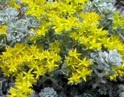 Sedum spathulifolium 'Cape Blanco' - vetkruid