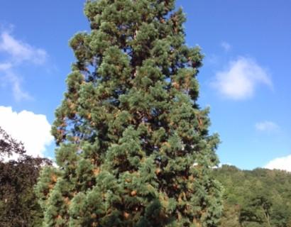 Sequoiadendron giganteum 'Glaucum' - blauwe mammoetboom