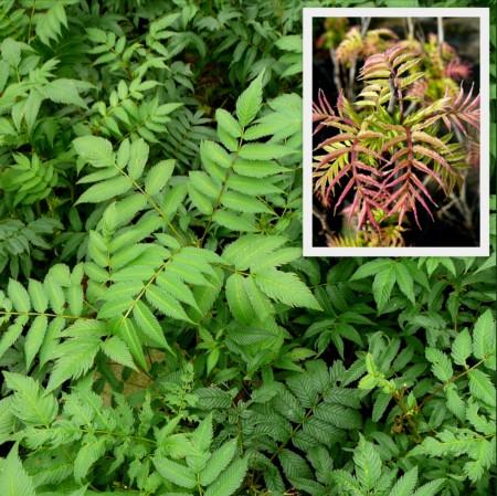 Sorbaria sorbifolia 'Sem' - lijsterbes