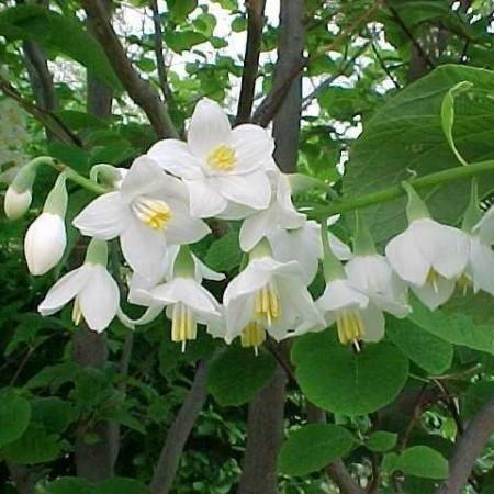 Styrax obassia - storaxboom