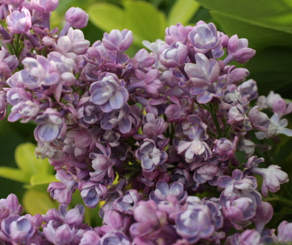 Syringa vulgaris 'Katherine Havemeyer' - sering, kruidnagel