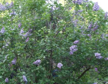 Syringa vulgaris 'Michel Buchner' - sering, kruidnagel