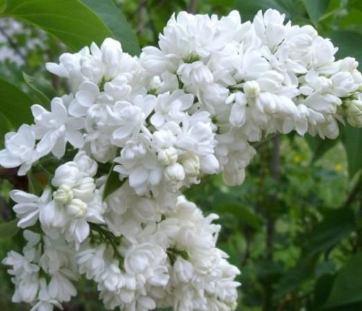 Syringa vulgaris 'Mme Florent Stepman' - sering, kruidnagel