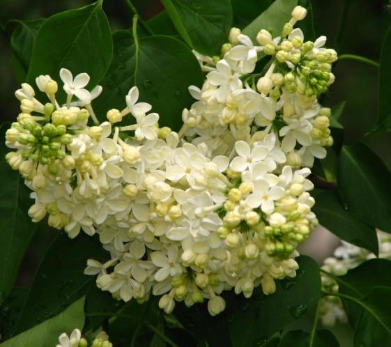 Syringa vulgaris 'Primrose' - sering, kruidnagel