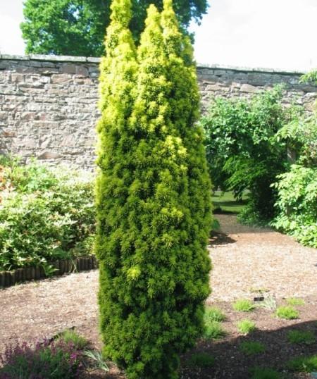 Taxus baccata 'David' - venijnboom