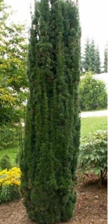 Taxus baccata 'Fastigiata Robusta' - venijnboom