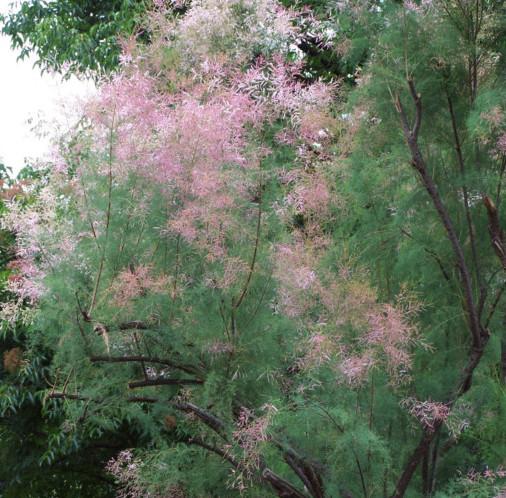 Tamarix ramosissima 'Pink Cascade' - tamarisk