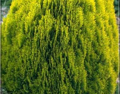 Thuja orientalis 'Aurea Nana' pot 3 liter - levensboom