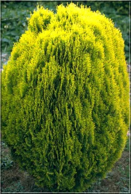 Thuja orientalis 'Aurea Nana' - levensboom