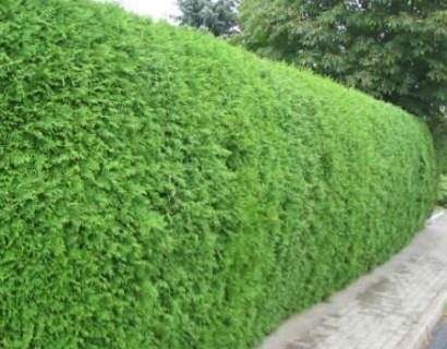 Thuja occidentalis 'Brabant' pot 1 meter - levensboom, groene haagconifeer