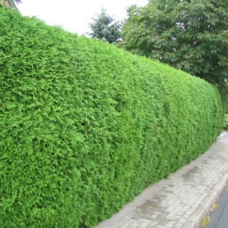 Thuja occidentalis 'Brabant' - levensboom, groene haagconifeer