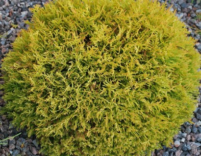 Thuja occidentalis 'Golden Tuffet' - levensboom