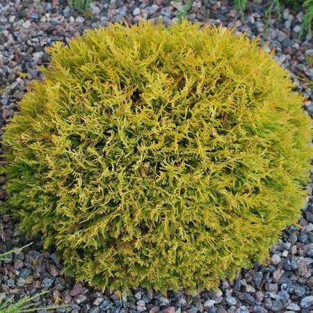 Thuja occidentalis 'Golden Tuffet' - levensboom