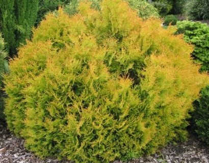 Thuja occidentalis 'Rheingold' pot 2 liter - levensboom