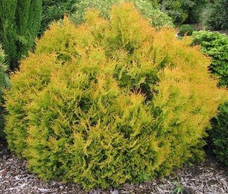Thuja occidentalis 'Rheingold' - levensboom