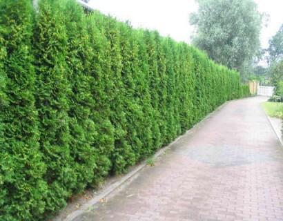 Thuja occidentalis 'Smaragd' pot 1 meter