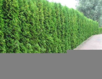 Thuja occidentalis 'Smaragd' pot 3 liter