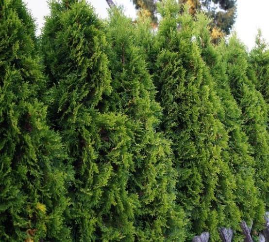 Thuja occidentalis 'Smaragd' - levensboom, groene haagconifeer