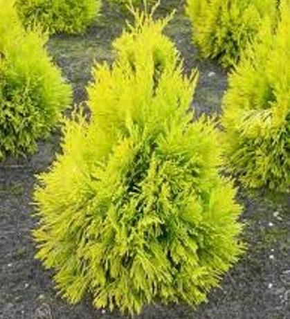 Thuja plicata '4ever Goldy' - levensboom