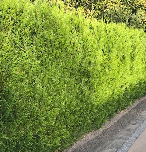 Thuja plicata 'Atrovirens' - levensboom, groene haagconifeer
