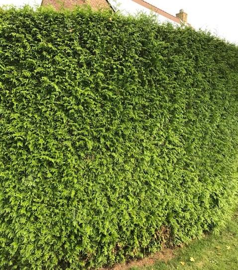 Thuja plicata 'Excelsa' - levensboom, groene haagconifeer