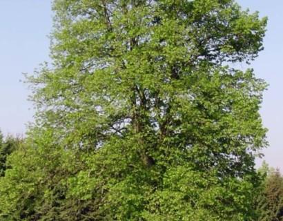 Tilia vulgaris 'Pallida' - koningslinde