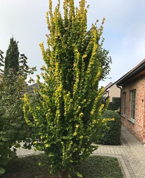 Ulmus hollandica 'Wredei' - goudiep