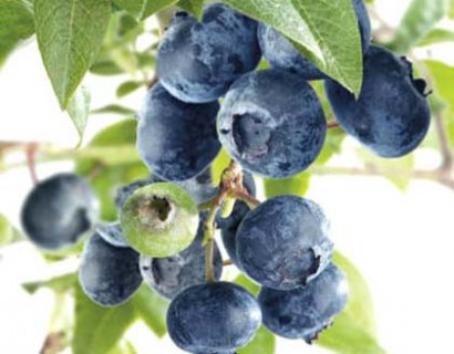 Blauwe bes 'Bluecrop' pot 3 liter - Amerikaanse blauwe bes