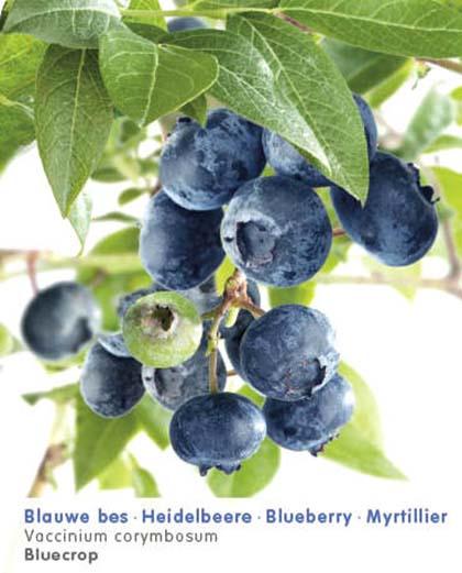 Vaccinium corymbosum 'Bluecrop' - Amerikaanse blauwe bes