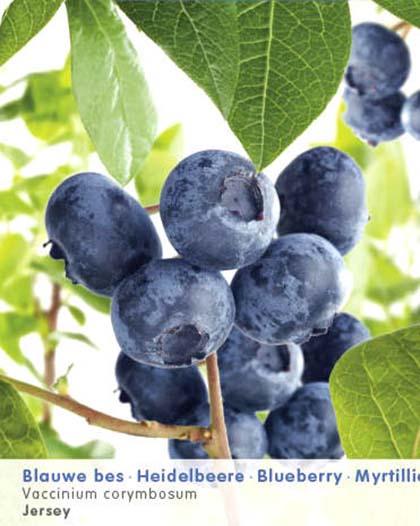 Vaccinium corymbosum 'Jersey' - Amerikaanse blauwe bes