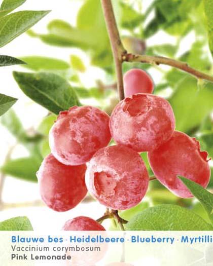 Vaccinium corymbosum 'Pink Lemonade' - roze bosbes