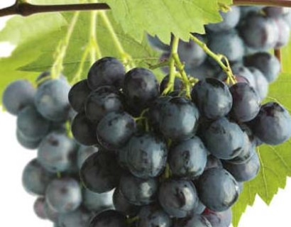 Blauwe druif 'Boskoop Glory' pot 3 liter - blauwe druif