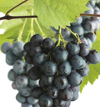 Vitis 'Boskoop Glory' - blauwe druif