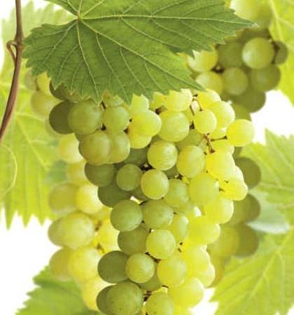 Vitis 'Bianca' - witte druif