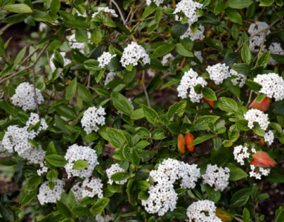 Viburnum burkwoodii pot 7.5 liter - sneeuwbal