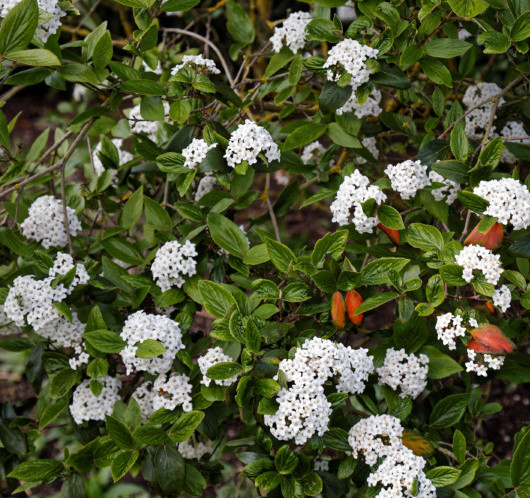 Viburnum burkwoodii - sneeuwbal