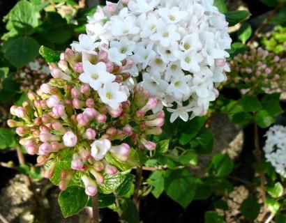 Viburnum burkwoodii 'Anne Russel' - sneeuwbal