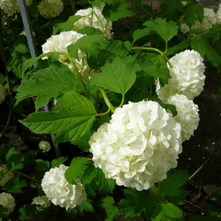 Viburnum opulus 'Roseum' - Gelderse roos