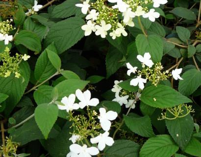 Viburnum plicatum 'Watanabe' pot 3 liter - Japanse sneeuwbal