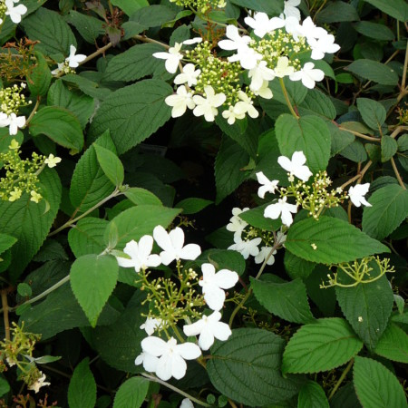 Viburnum plicatum 'Watanabe' - Japanse sneeuwbal