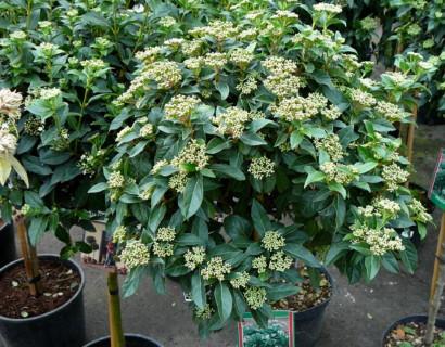 Viburnum tinus stam