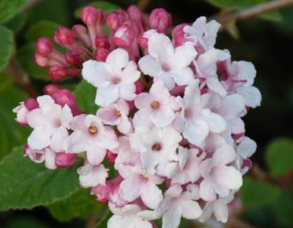 Viburnum carlesii 'Aurora' - sneeuwbal