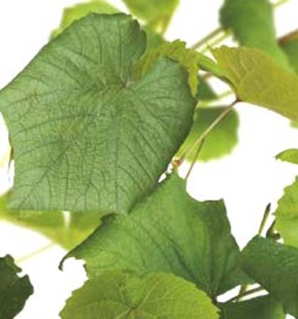 Vitis coignetae - sierdruif