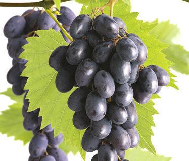 Pitloze blauwe druif 'Glenora' pot 3 liter - pitloze blauwe druif