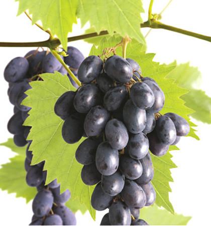 Vitis 'Glenora' - pitloze blauwe druif