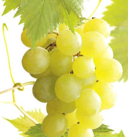 Pitloze witte druif 'Himrod' pot 3 liter
