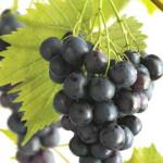 Hoe snoei ik mijn druif? Wanneer moet ik mijn druif snoeien?