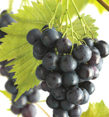 Vitis 'Muscaat Blue' - blauwe druif